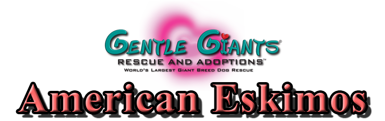 American Eskimos at Gentle Giants Rescue and Adoptions